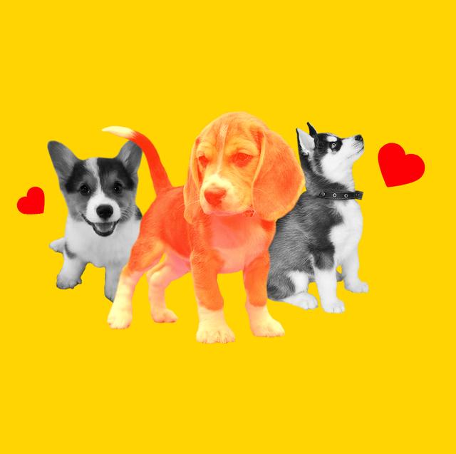 Dog, Mammal, Vertebrate, Canidae, Dog breed, Carnivore, Border collie, Pembroke welsh corgi, Working dog, Karelian bear dog,