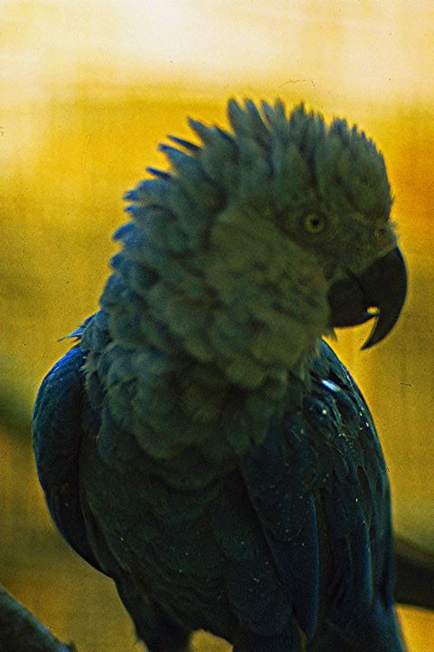 Bird, Beak, Green, Parrot, Blue, Feather, Yellow, Macaw, Parakeet, Budgie,