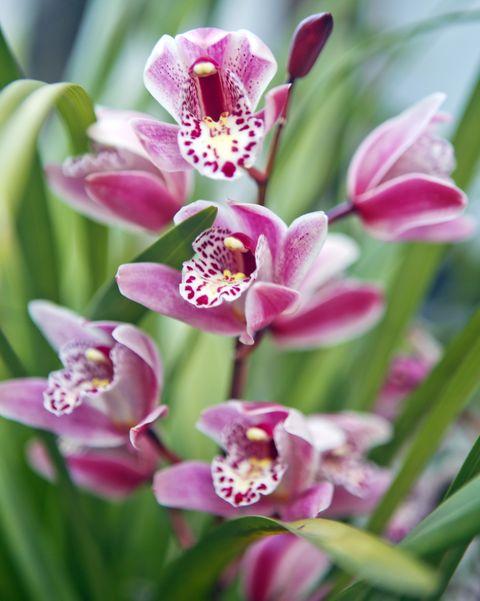 pink purple cymbidium boat orchids