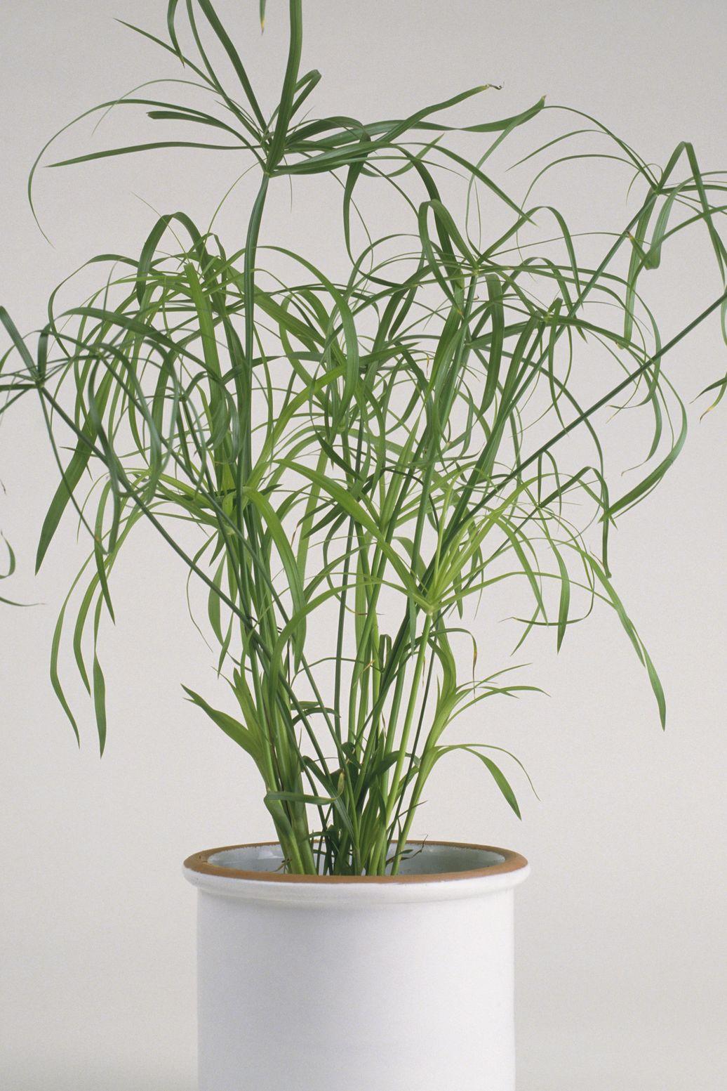 Cyperus alternifolius 'Gracilis' (Umbrella plant) in white ceramic plant pot