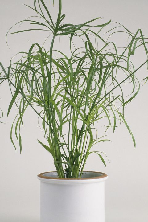 Cyperus alternifolius 'Gracilis' (Umbrella plant) in white ceramic plant pot