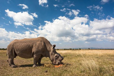 sudan white rhino