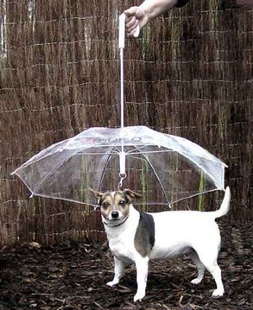 Dog, Canidae, Dog breed, Carnivore, Companion dog, Rat terrier, Feist, Tenterfield terrier, Russell terrier, Jack russell terrier,