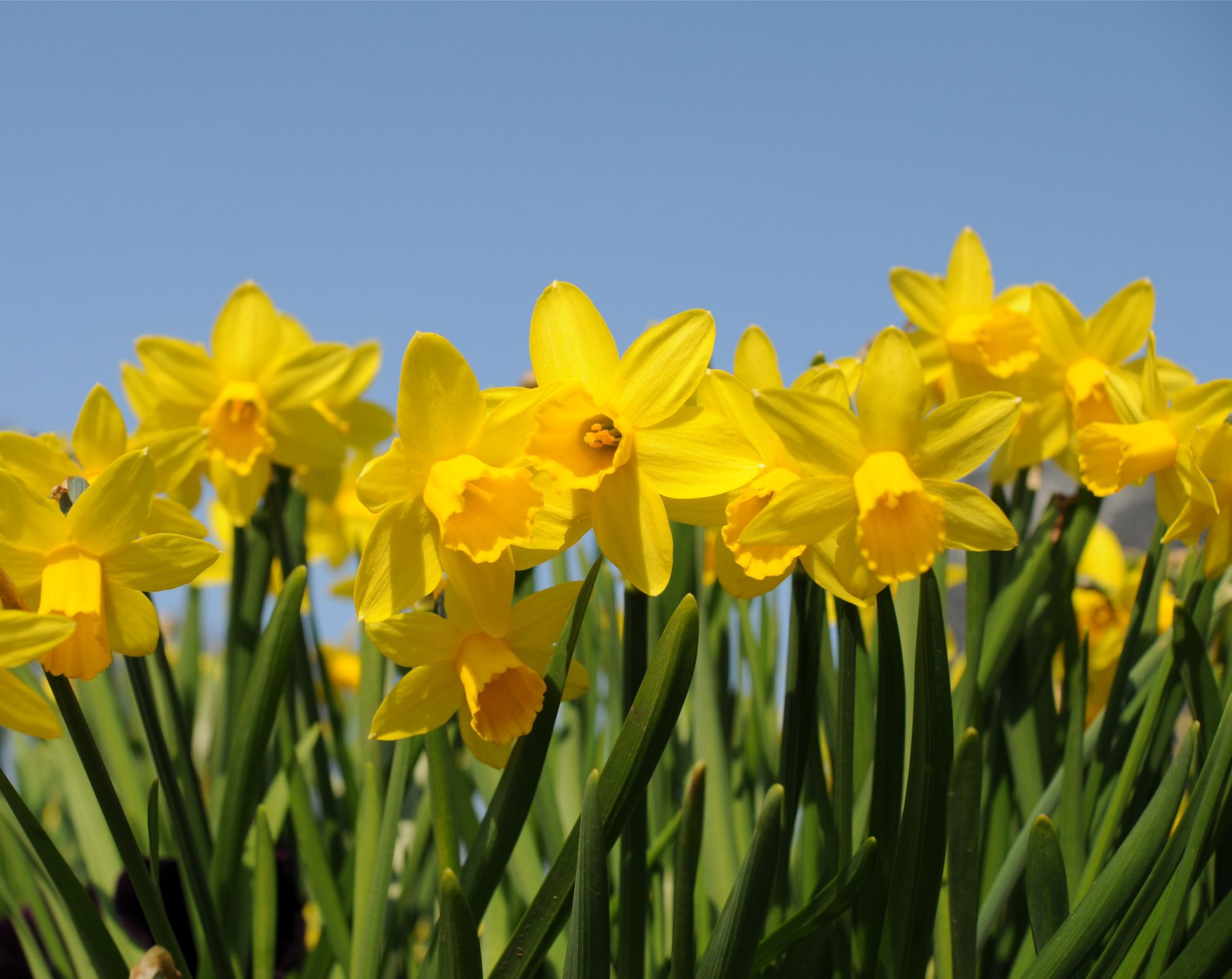 The UK's favourite spring flower has sprung up earlier because of the warm weather