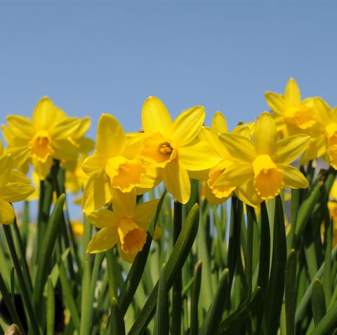 Daffodil shortage because of the mild weather means we might not have any by Easter