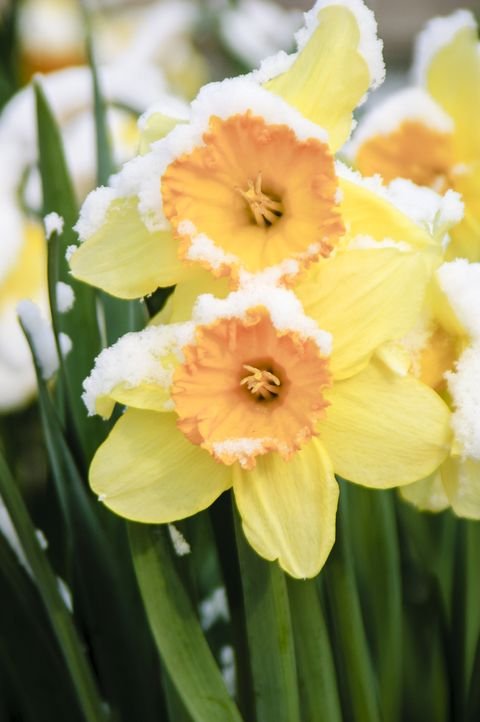 daffodils covered in snow by an early spring snowfall