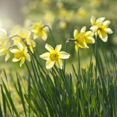 Daffodils outside growing