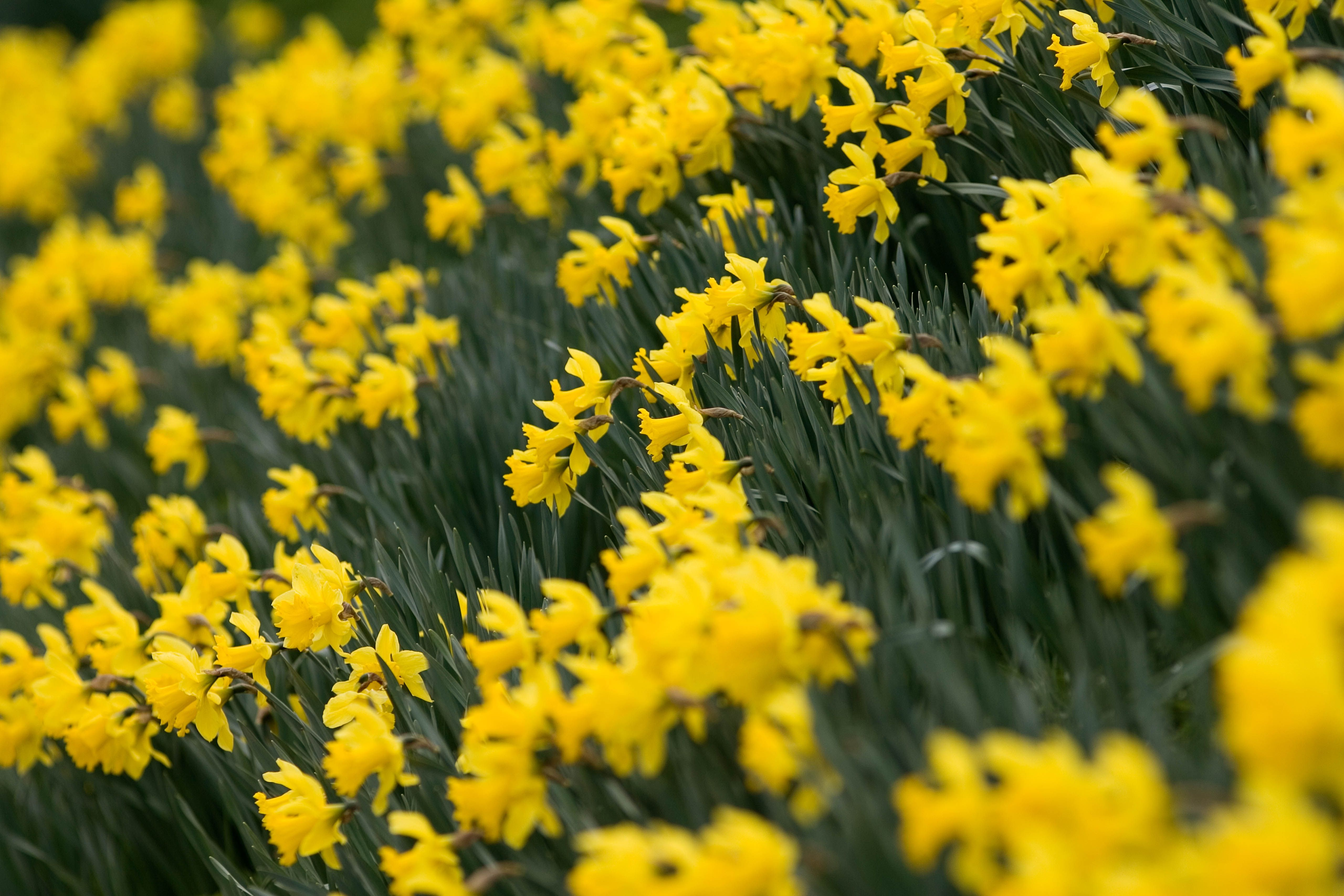 How To Plant Daffodils Daffodil Bulb Care