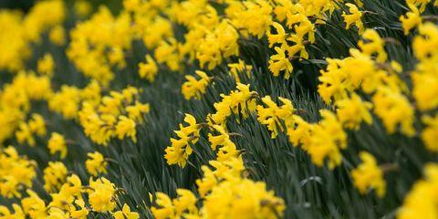Daffodils, Oxfordshire, United Kingdom