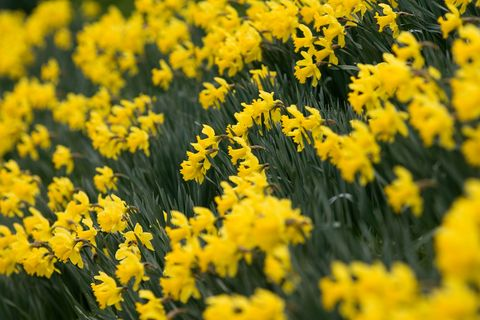 More Interesting Than Food Narcissus >> How To Plant Daffodils Daffodil Bulb Care
