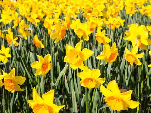 Daffodils, UK