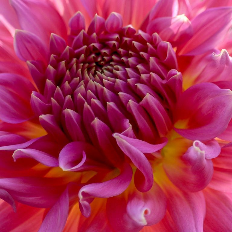 Vibrant bright pink and yellow Dahlia