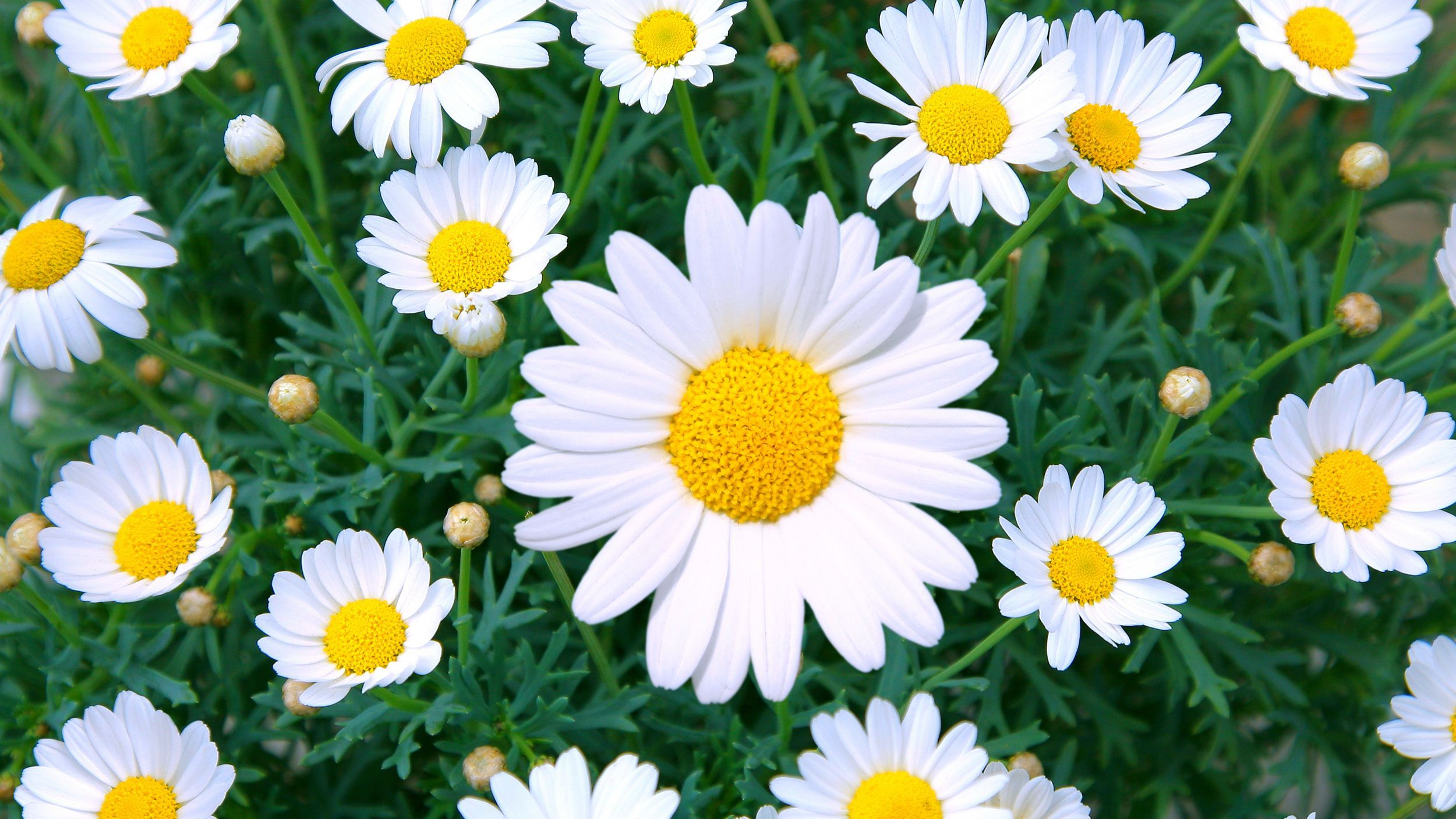 Daisy care how to plant grow outdoor daisy flowers in a garden izmirmasajfo