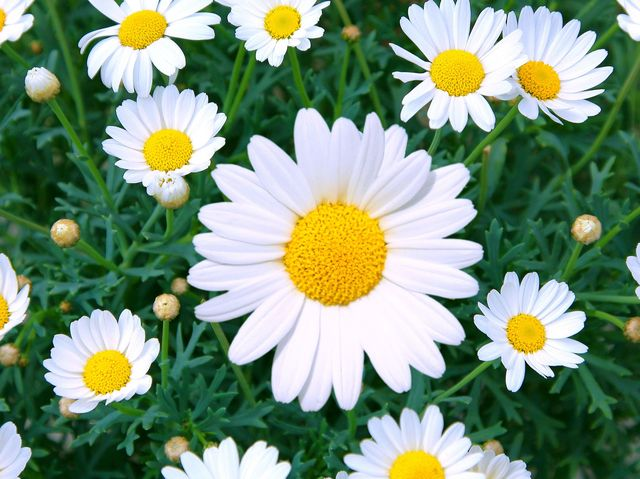 daisy care how to plant grow outdoor daisy flowers in a garden