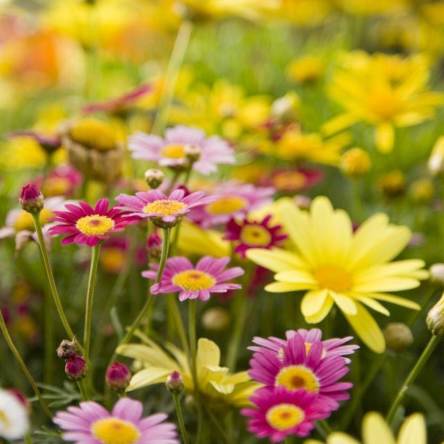 daisy types