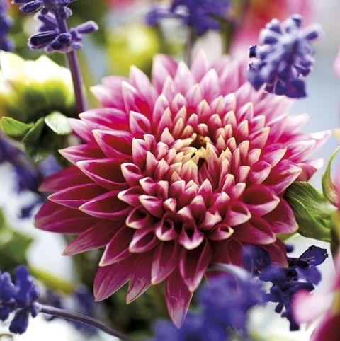 dalia en flor