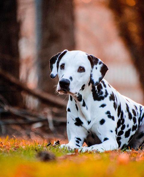 dalmatian dog relaxing on grassy field