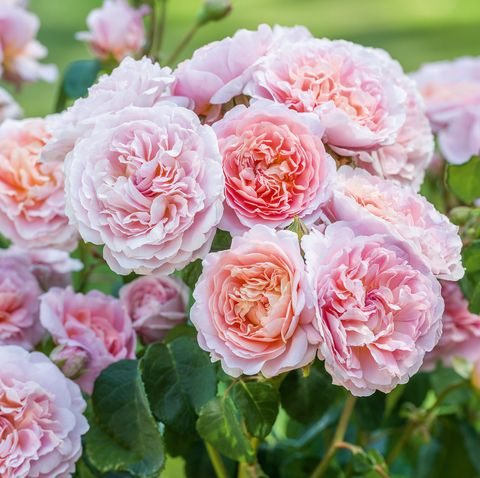 New roses at Chelsea Flower Show 2019