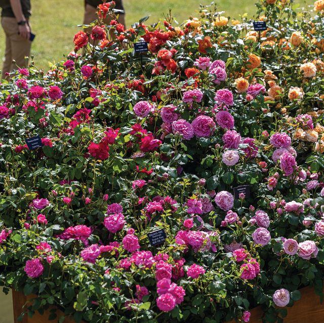 david austin, rainbow of roses installation, rhs hampton court palace flower show, july 2021