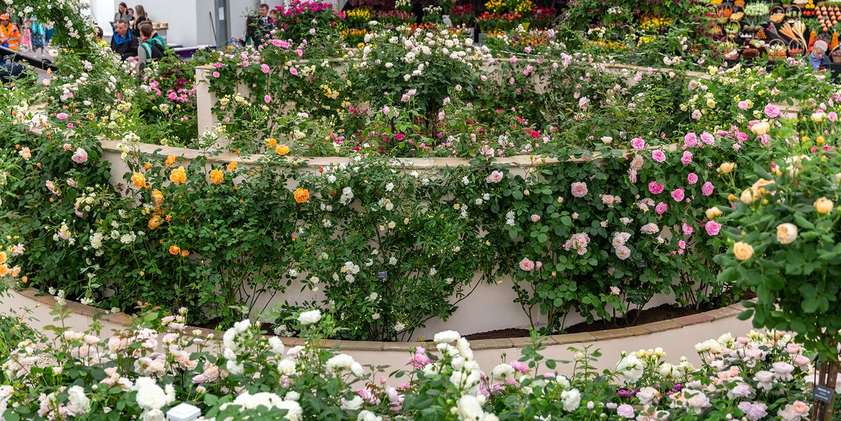 Chelsea Flower Show 2019 David Austin Roses Win 25th Gold