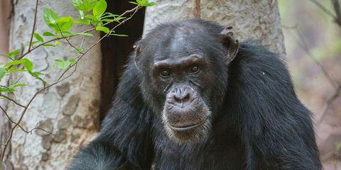 David the chimp