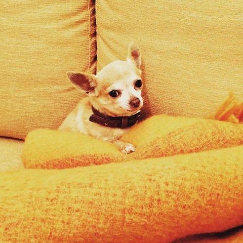 Mammal, Vertebrate, Dog, Canidae, Chihuahua, Dog breed, Skin, Carnivore, Companion dog, Puppy,