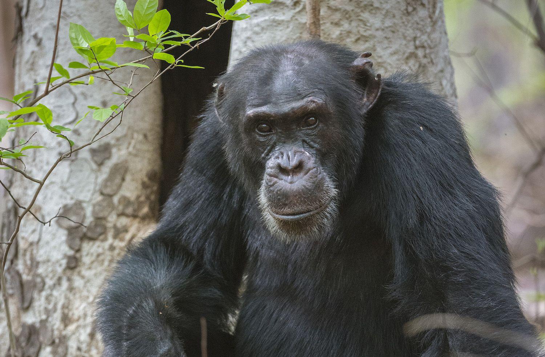 Dynasties David the chimp photo