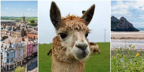 Vertebrate, Mammal, Alpaca, Llama, Terrestrial animal, Camelid, Adaptation, Wildlife, Snout, Livestock,