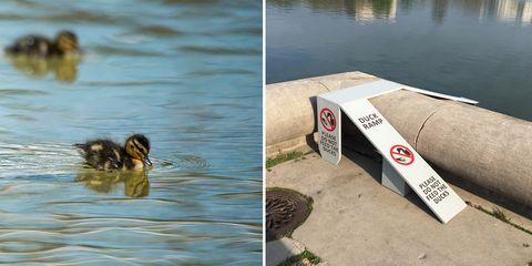 dc ducks