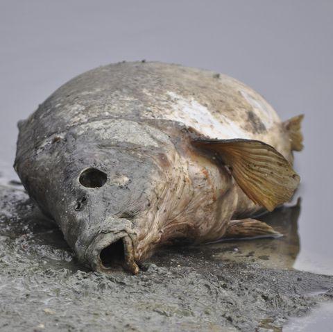 Dead Carp (Cyprinus carpio), Bramfelder See, Hamburg, Hamburg, Germany