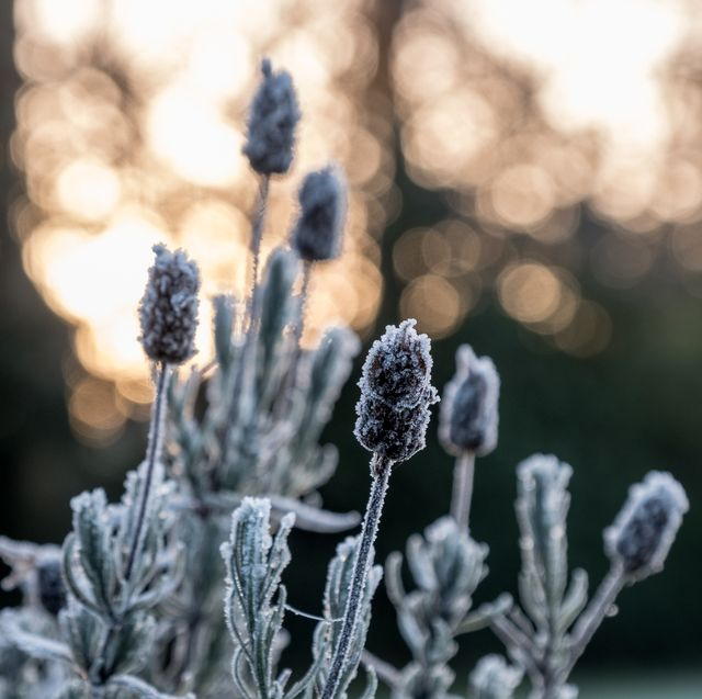 dead lavender plant covered with frost in the garden