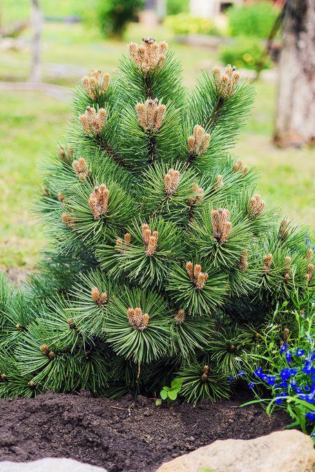 Le pin nain décoratif pousse dans le jardin.