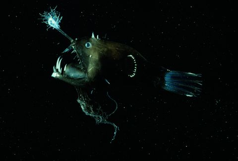 Deep sea anglerfish (Linophryne arborifera)