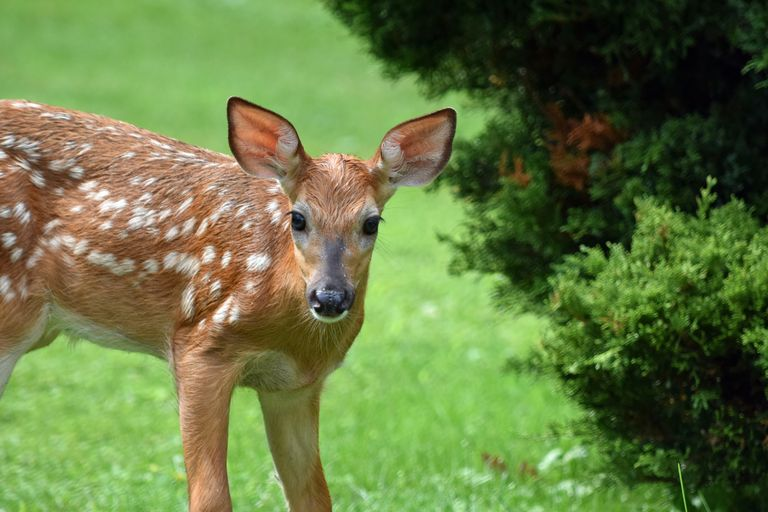 How to Keep Deer Out of Your Garden - Repelling Deer From Flowers
