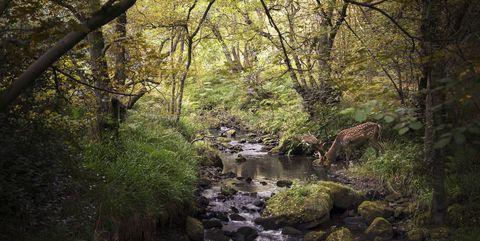 Deer in woodlands drinking from stream, West Midlands, UK