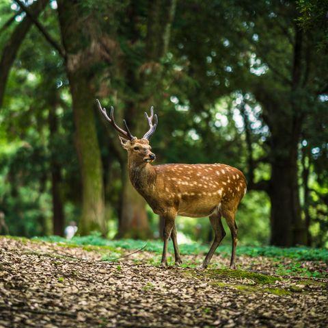 runner knocked over by deer during 10K Deer in Nara