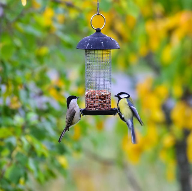 Defocused autumn leaves in the back. Focus on great tit and (probably)marsh tit (poecile palustris) hanging on to a bird feeder.