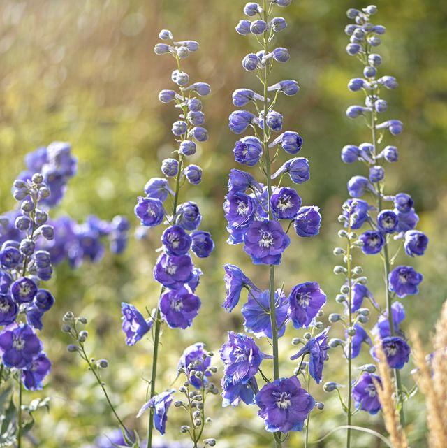 beautiful vibrant blue flowers of the delphinium or larkspur a cottage garden perennial plant