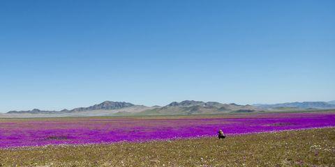 Grassland, Plain, Field, Steppe, Ecoregion, Natural environment, Sky, Prairie, Flower, Lavender,