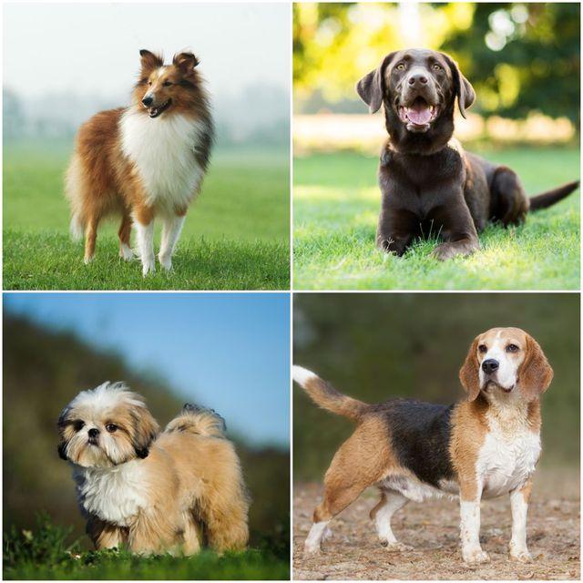 5 of the most destructive dog breeds
