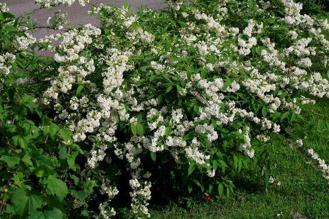 Deutzia gracilis. slender deutzia