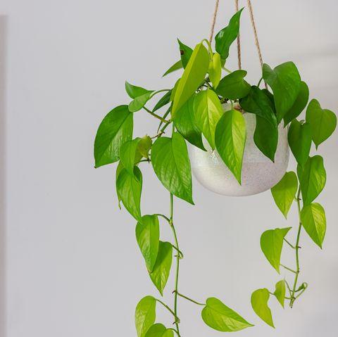 devils ivy golden pothos indoor plant vine in a hanging pot near doorway
