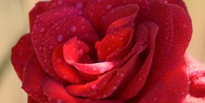 dew drops on rose petals