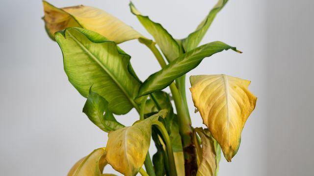 癒しを与えてくれる観葉植物は、まるで我が子が成長していくかのように愛着が湧くもの。しかし観葉植物の育て方は意外と難しく、葉が黄色くなってしまい悩まされることも…。そこで本記事では、「観葉植物」の葉が黄色くなってしまう原因とその対処法を専門家が解説。アドバイスに従って、自宅の観葉植物を生き返らせて!