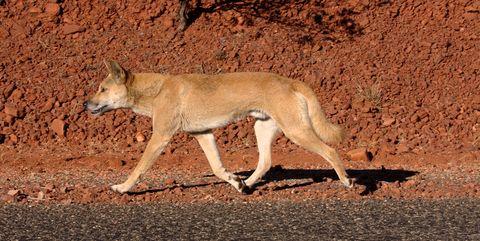 Vertebrate, Wildlife, Mammal, Canidae, Terrestrial animal, Carnivore, Dingo, Jackal, Coyote, New guinea singing dog,
