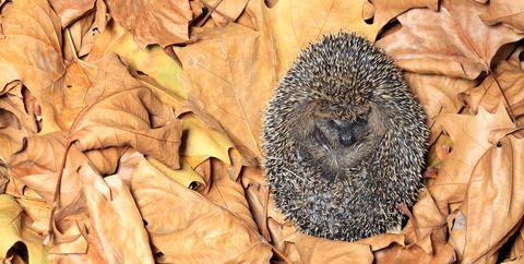 Hedgehog in garden photo