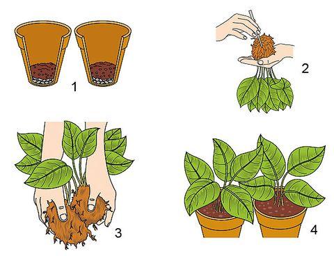 cómo dividir una planta por las raíces