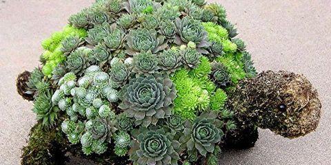 Plant, Flower, Echeveria, Flowerpot, Stonecrop family, Grass, Tree, Houseplant, white mexican rose, Shrub,