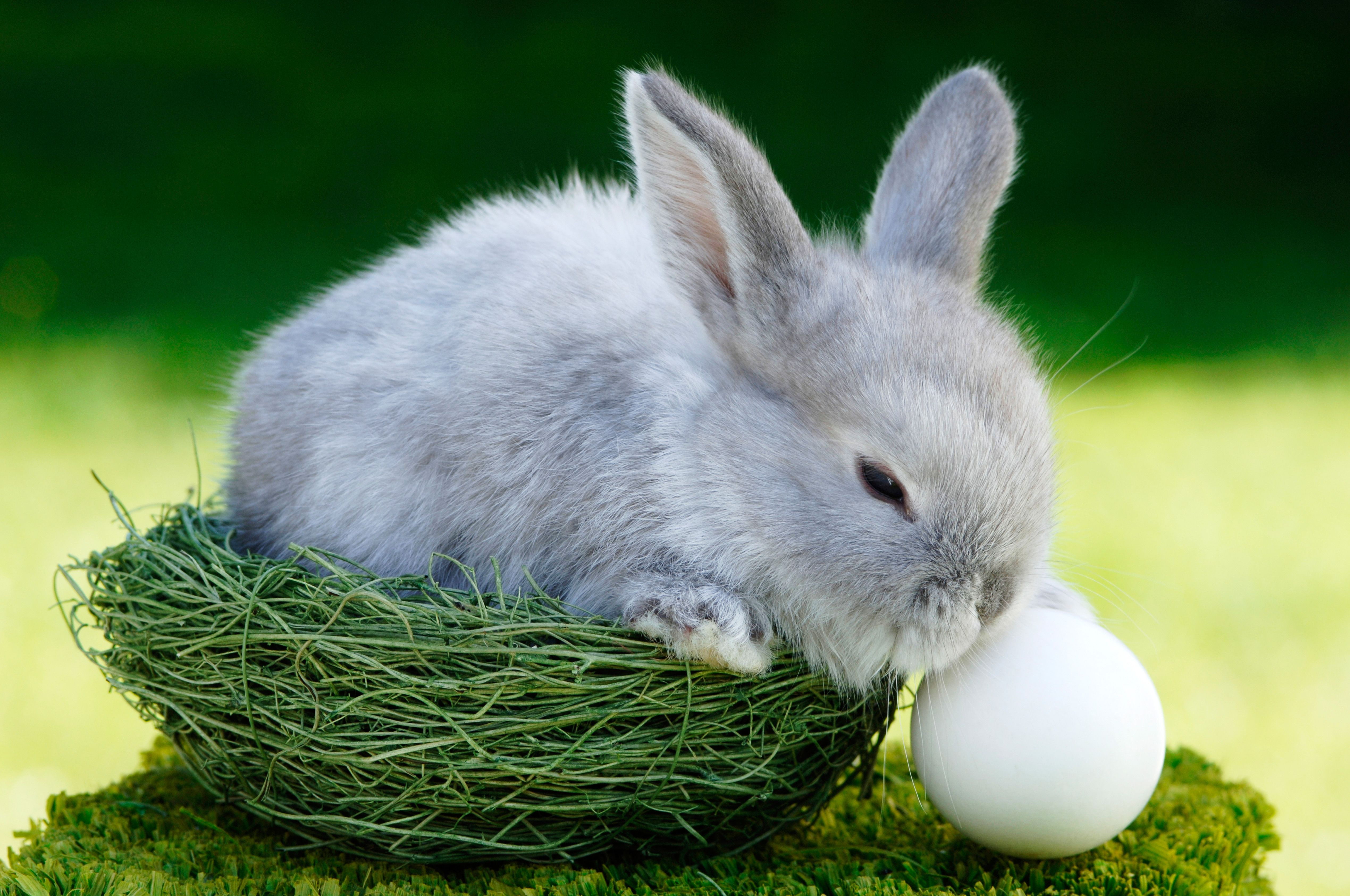 Do Bunnies Lay Eggs Why Is There An Easter Bunny If Rabbits Do