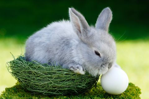 do bunnies lay eggs